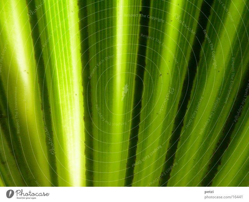 Palmenblatt Blatt Streifen gelb grün schwarz Lichteinfall Farbfoto Innenaufnahme Detailaufnahme Makroaufnahme Strukturen & Formen Zentralperspektive