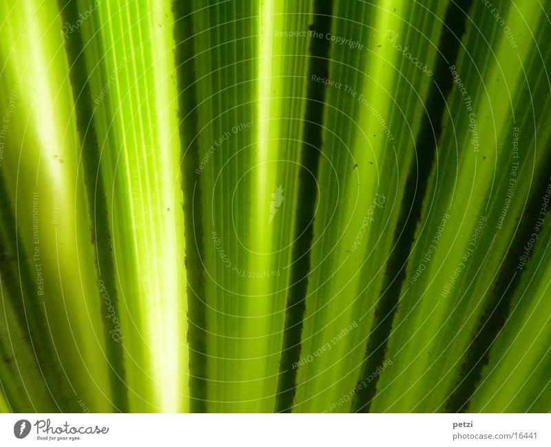 Palmenblatt grün Blatt schwarz gelb Streifen Palme Lichteinfall