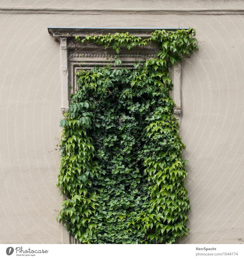 Fehlender Durchblick Pflanze Efeu Grünpflanze Wien Stadtzentrum Altstadt Mauer Wand Fenster außergewöhnlich schön lustig natürlich verrückt grün Kletterpflanzen