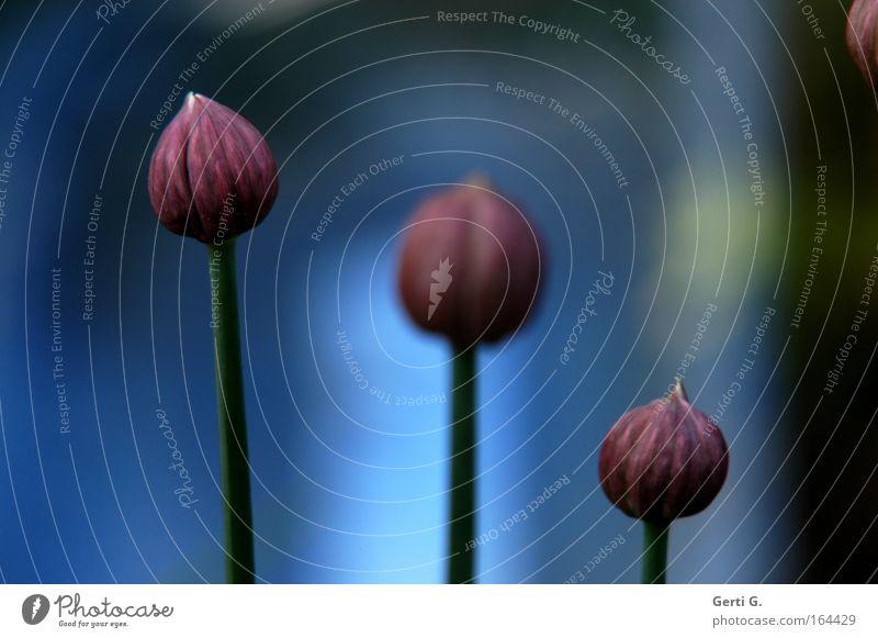 DreiEinheit Natur blau Pflanze rot Kräuter & Gewürze Stengel Reihe Halm Blütenknospen Schnittlauch Küchenkräuter