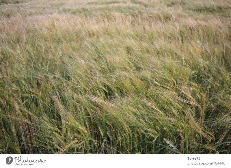 Ähren Farbfoto Außenaufnahme abstrakt Strukturen & Formen Menschenleer Tag Umwelt Natur Landschaft Pflanze Sommer Nutzpflanze Feld Idylle Klima rein stagnierend