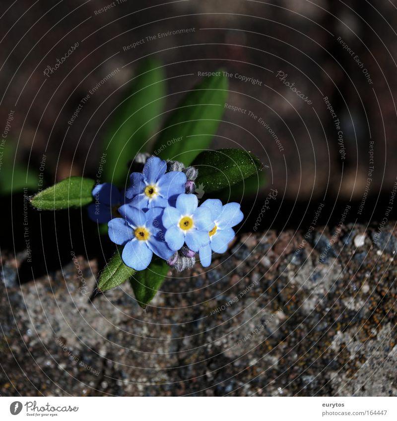 Vergissmeinnicht Natur schön Blume grün blau Pflanze Tier Blüte Wege & Pfade Umwelt ästhetisch Kitsch Vergänglichkeit unschuldig Grünpflanze