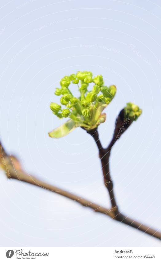 Knospe Farbfoto Außenaufnahme Textfreiraum oben Tag Pflanze Frühling Baum Sträucher Grünpflanze blau grün Blütenknospen Frühlingstag grünen Zweig Zweige u. Äste
