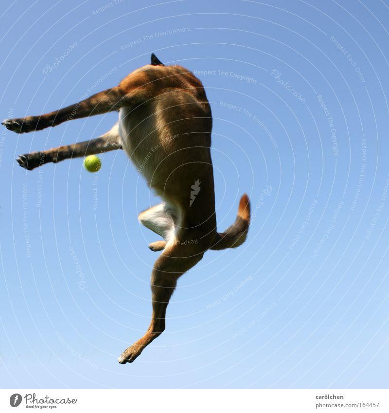Kopflos Farbfoto Himmel Haustier Hund fangen Jagd Spielen springen sportlich muskulös Lebensfreude Kraft Entschlossenheit Belgischer Schäferhund