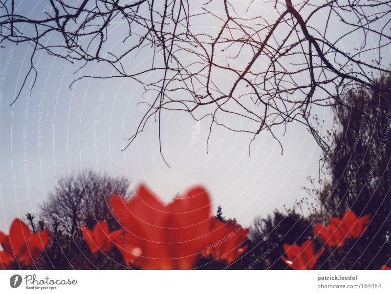 Rote Tulpen Farbfoto Außenaufnahme Nahaufnahme Menschenleer Tag Kontrast Unschärfe Froschperspektive Natur Pflanze Himmel Frühling Schönes Wetter Blüte Park