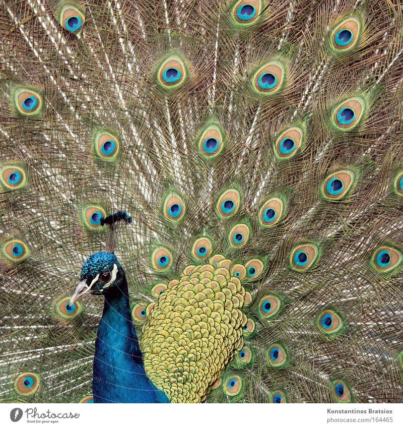 POSER Außenaufnahme Tag Tierporträt Streichelzoo Pfau 1 leuchten ästhetisch natürlich blau braun grün Frühlingsgefühle schön Stolz Vogel gefiedert Feder Brunft