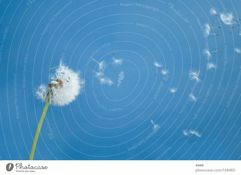 Pustefix Natur Himmel weiß Blume blau Pflanze Sommer Freude Leben Bewegung Glück Luft Wind Umwelt frei Fröhlichkeit