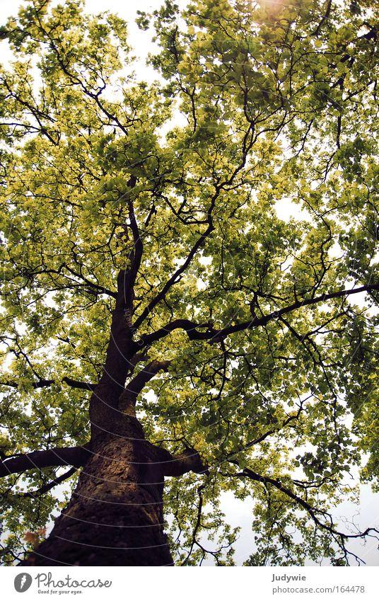 Naturwunder Natur alt Baum Sonne grün Pflanze Sommer ruhig Wald Leben Frühling Glück Landschaft braun Kraft groß