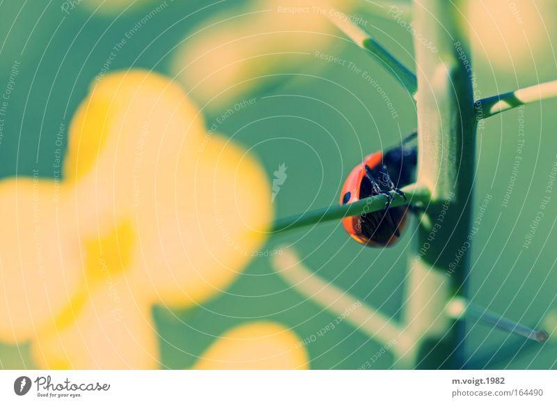 Marienkäfer I Farbfoto Außenaufnahme Nahaufnahme Makroaufnahme Sonnenlicht Starke Tiefenschärfe Pflanze Tier Frühling Sommer Nutzpflanze Raps Ast Käfer 1