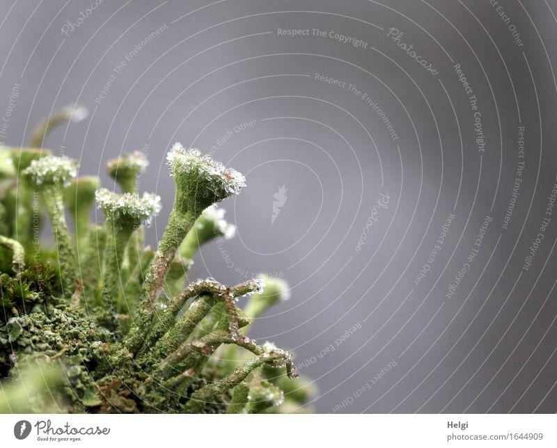 eisig verziert Umwelt Natur Pflanze Winter Nebel Eis Frost Flechten Wald frieren stehen authentisch außergewöhnlich einzigartig klein natürlich grau grün weiß