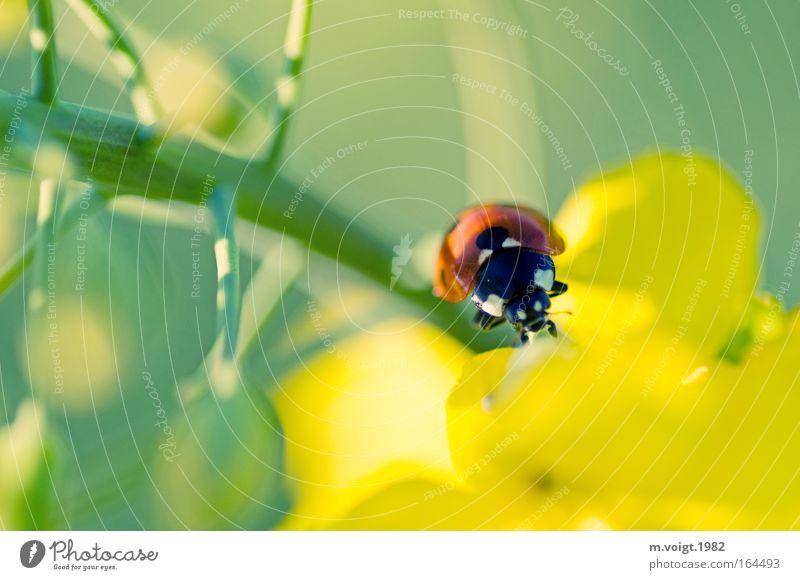 Marienkäfer II Natur schön grün Pflanze Sommer Tier gelb Farbe Frühling Umwelt Klettern Ast wild Punkt Idylle aufwärts