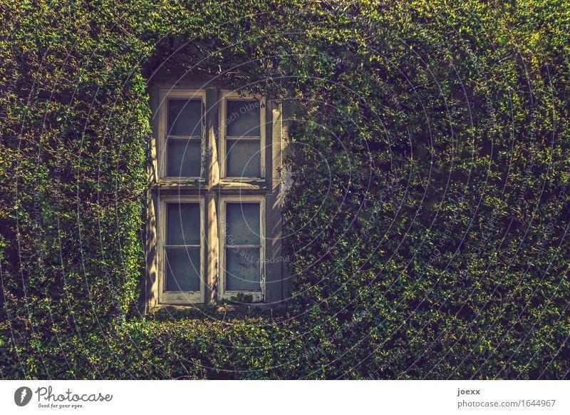 Wärmedämmung Efeu Mauer Wand Fenster alt schön grün weiß Idylle bewachsen grüne Wand Farbfoto Außenaufnahme Tag Sonnenlicht