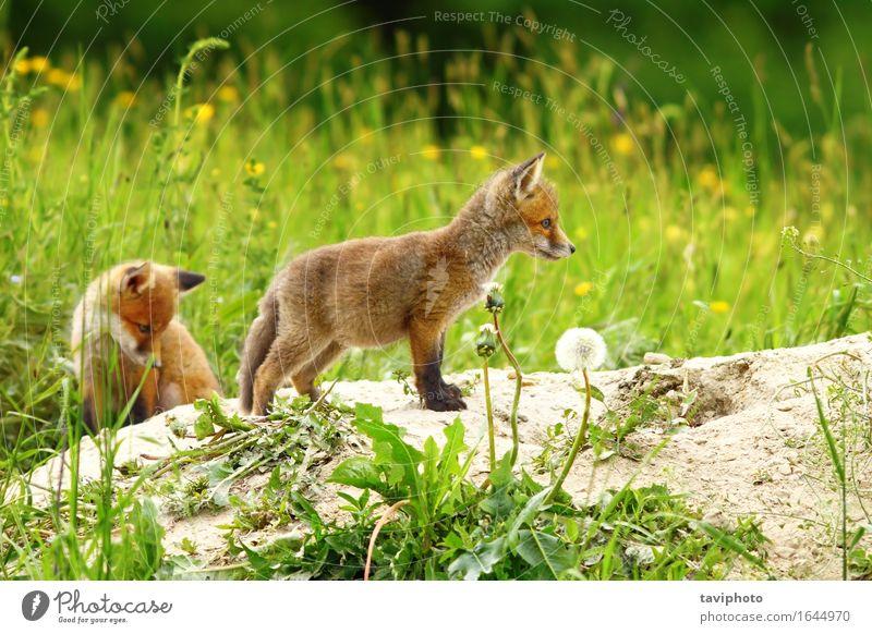 zwei Rotfuchsjunge Baby Familie & Verwandtschaft Jugendliche Natur Tier Sand Erde Gras Wald Pelzmantel Hund Tierjunges klein natürlich niedlich wild braun grün