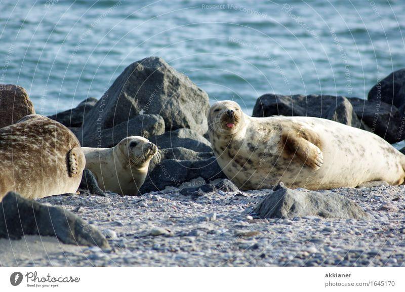 """Freche Robbe Tier Wildtier """"Seehund Seehunde lion sea lion seal seals Seelöwe Seelöwen Robben Säuger Säugetier Tiere Tierreich tierisch Tierwelt"""" 3 Tiergruppe"""