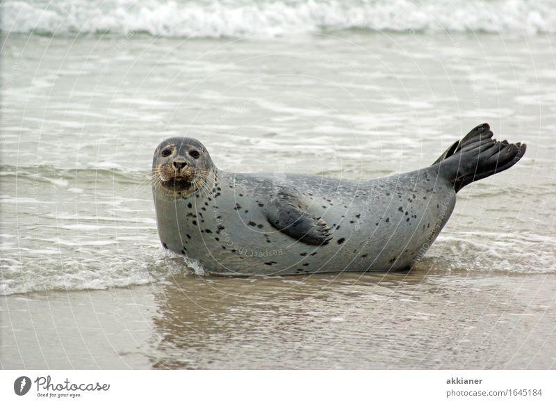 """Seehund Umwelt Natur Landschaft Tier Sand Wellen Küste Seeufer Strand Wildtier """"Seehund Seehunde lion sea lion seal seals Seelöwe Seelöwen Robbe Robben Säuger"""