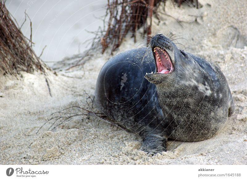 """Bleib mir ja von der Pelle Umwelt Natur Landschaft Pflanze Tier Sand Schönes Wetter Sträucher Küste Strand Wildtier """"Seehund Seehunde lion sea lion seal seals"""