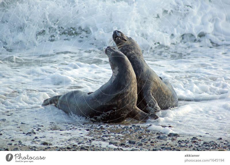 Tänzchen Umwelt Natur Tier Urelemente Wasser Winter Wellen Küste Strand Nordsee Meer 2 Tierpaar hell nah nass natürlich grau Robben Säugetier Seehund Wellengang