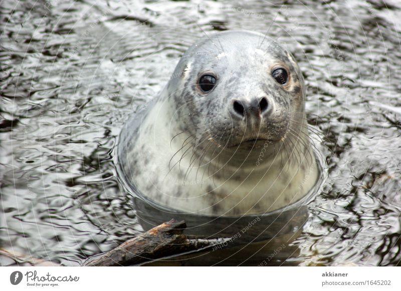 Hallo Umwelt Natur Tier Urelemente Wasser Winter Eis Frost Küste Nordsee Meer Wildtier Tiergesicht 1 frei nah nass natürlich grau Robben Robbenbaby