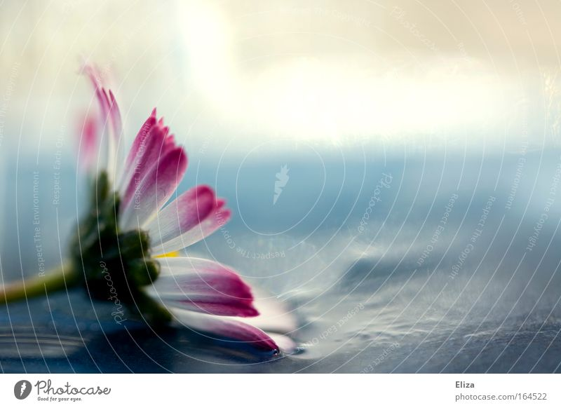Feuchtgebiete schön Blume Sommer Leben Blüte Frühling glänzend rosa nass frisch ästhetisch Dekoration & Verzierung zart feucht Gänseblümchen