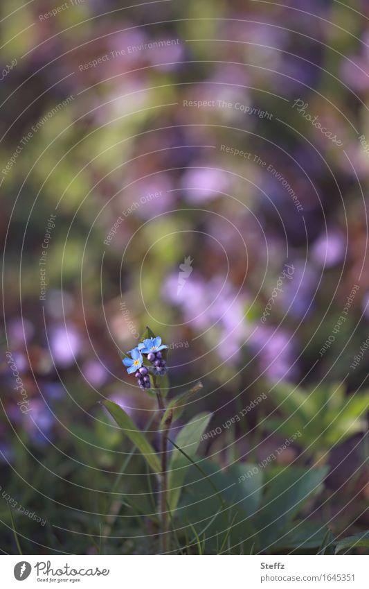 Gartenfarben Natur Pflanze Frühling Blume Blüte Vergißmeinnicht Gartenpflanzen Frühlingsblume Blühend Wachstum klein natürlich schön blau grün violett