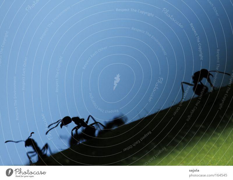 aliens Außenaufnahme Textfreiraum oben Hintergrund neutral Silhouette Tierporträt Ameise Insekt Fühler 3 Tiergruppe Arbeit & Erwerbstätigkeit Blick blau schwarz