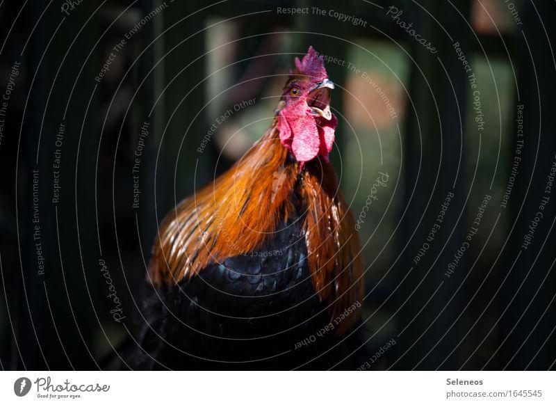 Aufstehen! Tier Nutztier Tiergesicht Hahn 1 Tierliebe krähen laut Bauernhof Hahnenkamm Feder Farbfoto Außenaufnahme Schwache Tiefenschärfe Tierporträt
