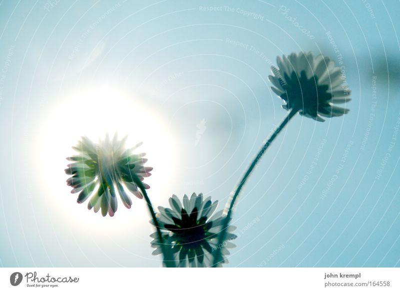 daisies of the galaxy Natur Himmel Sonne Blume blau Pflanze Frühling Glück Umwelt Warmherzigkeit Gänseblümchen Sympathie Froschperspektive