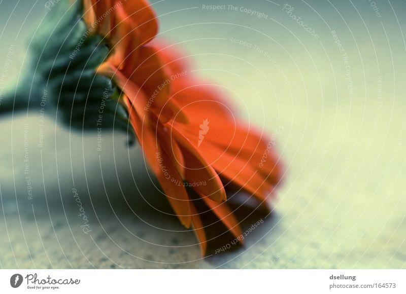 Teil einer Blume - Nahaufnahme Farbfoto Menschenleer Textfreiraum rechts Schatten Unschärfe Schwache Tiefenschärfe Zentralperspektive Pflanze Gerbera weich grün
