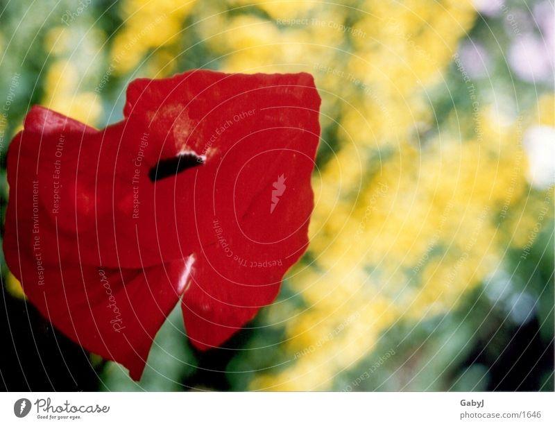 Mohn rot Sommer Blumenwiese Klatschmohn