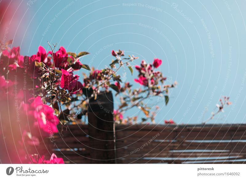 blau-rosa Kunst Kunstwerk ästhetisch Bougainvillea mediterran Blume Blühend Blauer Himmel oben Unschärfe Detailaufnahme Sommer Sommerurlaub dezent Holz