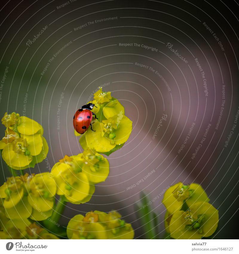 Aufwärtstrend Natur Pflanze Frühling Sommer Blume Blüte Wolfsmilchgewächse Käfer Marienkäfer Siebenpunkt-Marienkäfer Insekt 1 Tier Duft krabbeln oben positiv