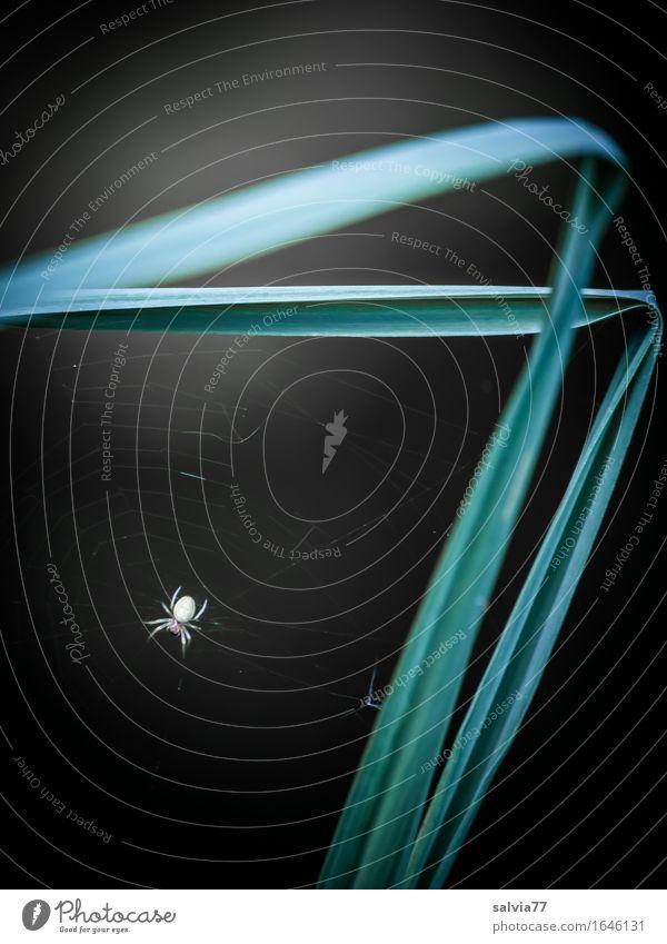 77 Natur Pflanze Tier Gras Halm Wildtier Spinne 1 beobachten warten grau grün schwarz weiß Wachsamkeit geduldig gefährlich Design einzigartig Erwartung Hoffnung