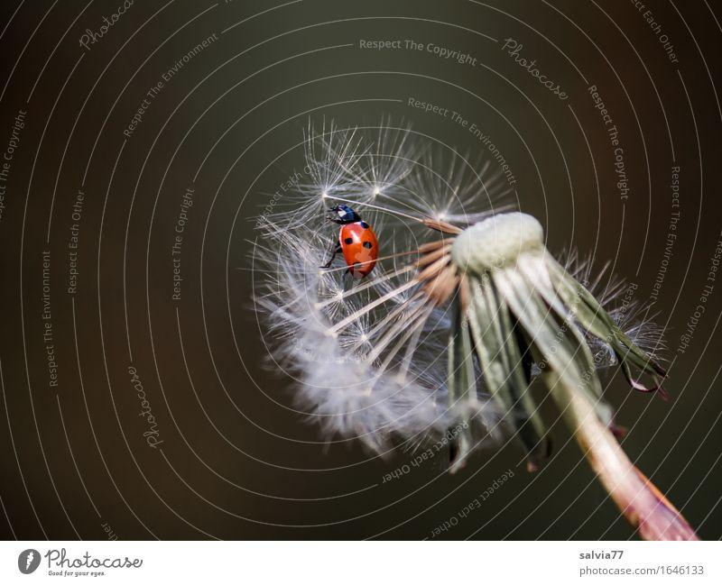 Startklar? Natur Pflanze Tier Frühling Blüte Wildpflanze Löwenzahn Samen Flügel Insekt Siebenpunkt-Marienkäfer 1 fliegen krabbeln frei oben rot weiß Glück