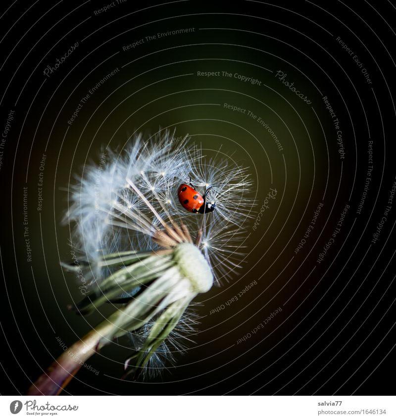 Flugplatz Löwenzahn Natur Pflanze Sommer Tier Leben Blüte Frühling Wiese Glück fliegen Perspektive einzigartig Insekt Samen Leichtigkeit