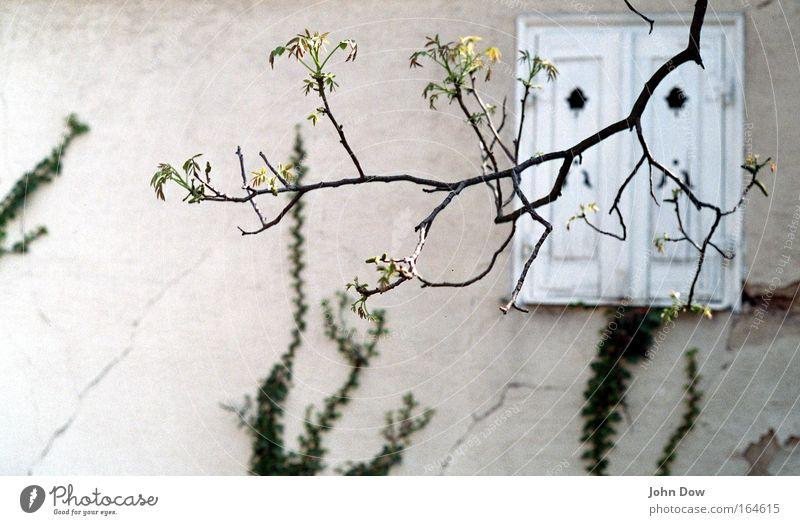 spring's creepin' in Pflanze Frühling Baum Efeu Ast Blühend Zweig Zweige u. Äste Haus Fassade Fenster Fensterladen alt ästhetisch Hoffnung Vergänglichkeit