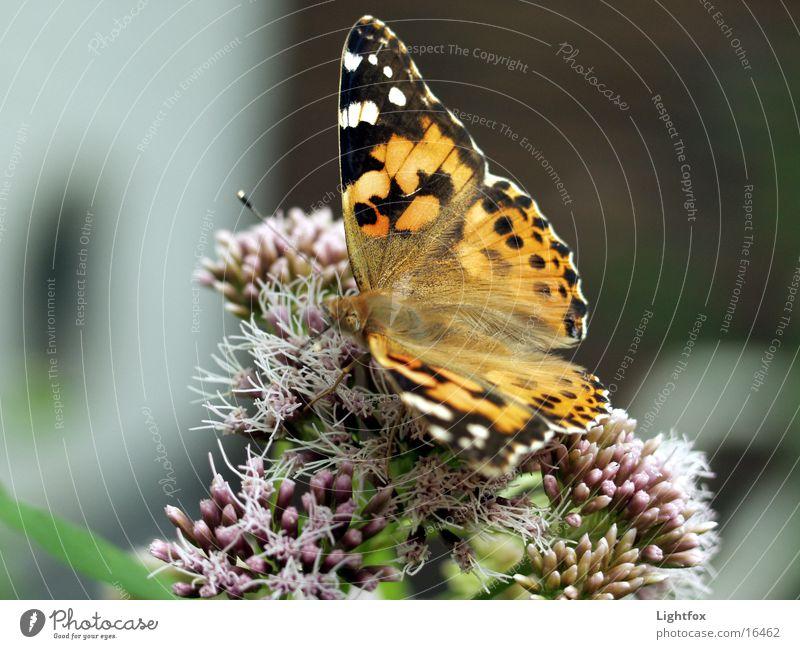Der Admiral Natur schön Farbe Umwelt Flügel Insekt Schmetterling Kleiner Fuchs