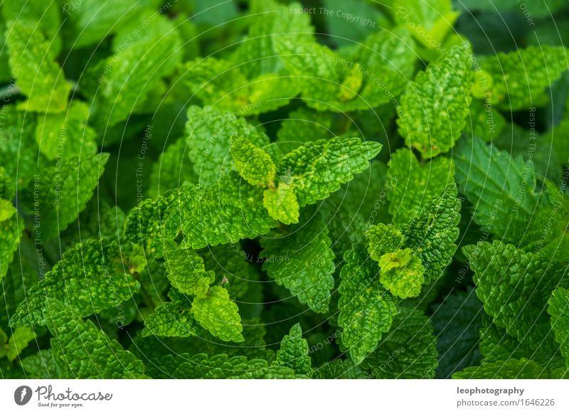 Minze Pflanze grün Essen Gesundheit frisch Ernährung ästhetisch fantastisch Sauberkeit Kräuter & Gewürze gut Bioprodukte Frühstück Duft Vegetarische Ernährung