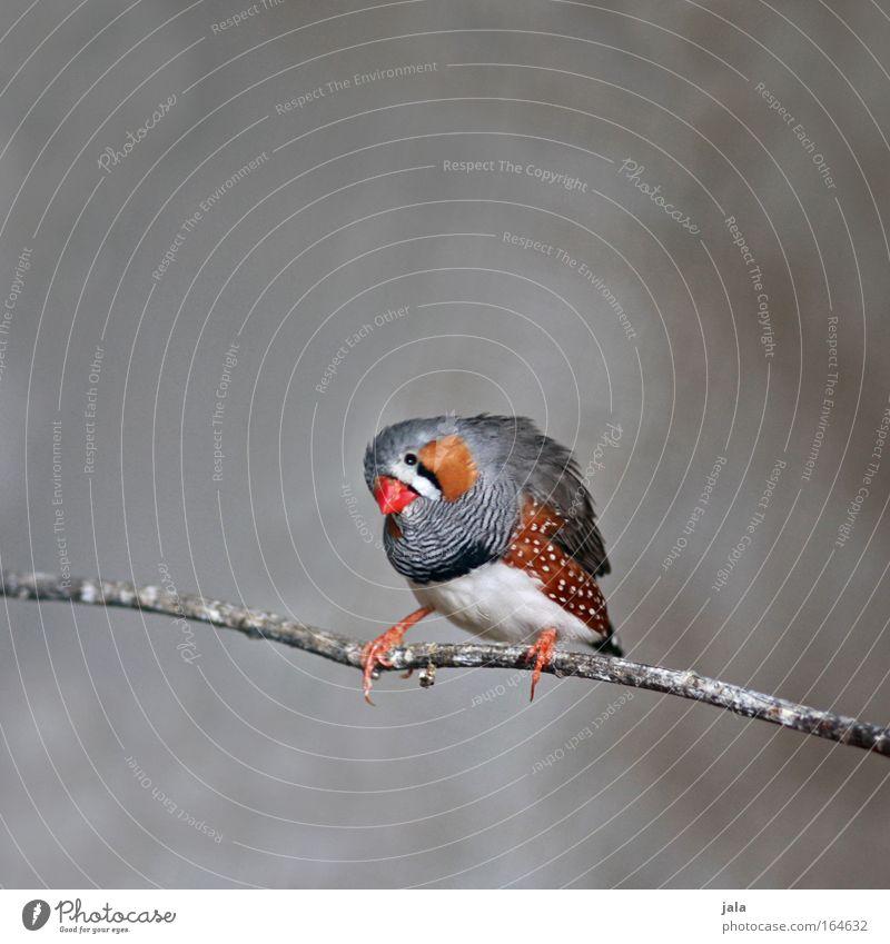 Is my lipstick straight? schön rot Tier grau klein Vogel sitzen Flügel Ast Zoo Australien gepunktet Singvögel
