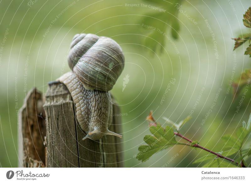 Aufbruch II Natur Pflanze Tier Frühling Weissdorn Garten Wildtier Schnecke Weinbergschnecke 1 Bewegung schleimig braun grün Trägheit gefräßig Geschwindigkeit
