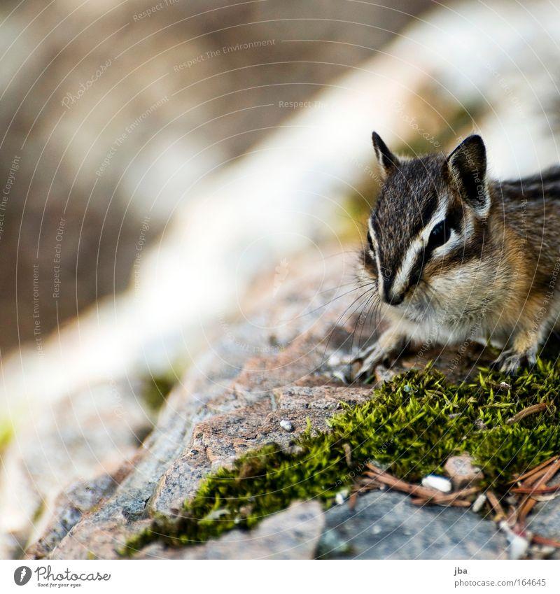 Chipmunk Natur Tier Umwelt Frühling klein braun Wildtier warten authentisch beobachten Neugier entdecken Streifenhörnchen