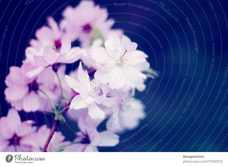 ::16-28:: Umwelt Natur Frühling Sommer Wetter Schönes Wetter Pflanze Blume Blüte Garten Park Verliebtheit Romantik Kirsche Kirschblüten rosa blau Hochzeit