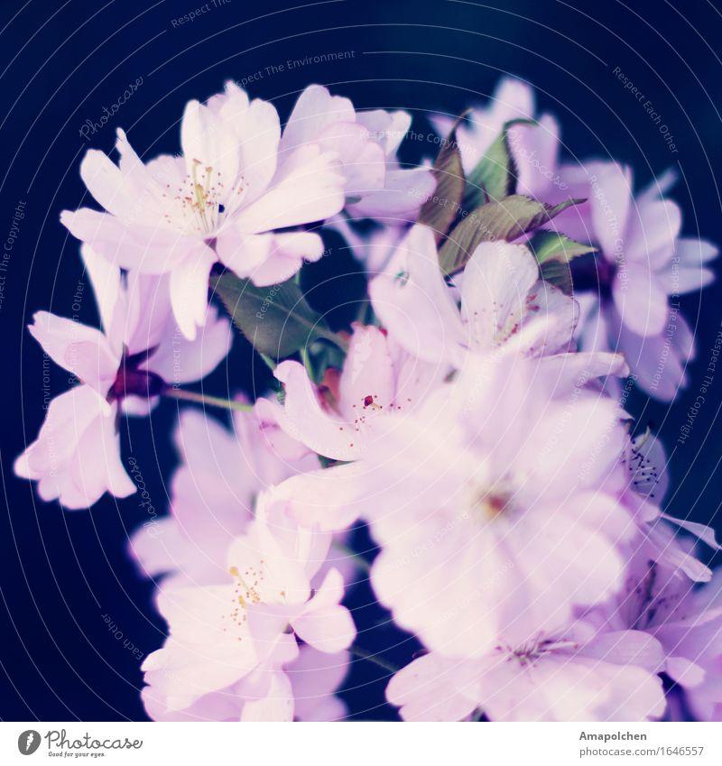 ::16-27:: Natur Pflanze Wetter Schönes Wetter Baum Blume Blüte Garten Park Glück Lebensfreude Frühlingsgefühle Kirsche Kirschblüten Kirschbaum rosa Prinzessin