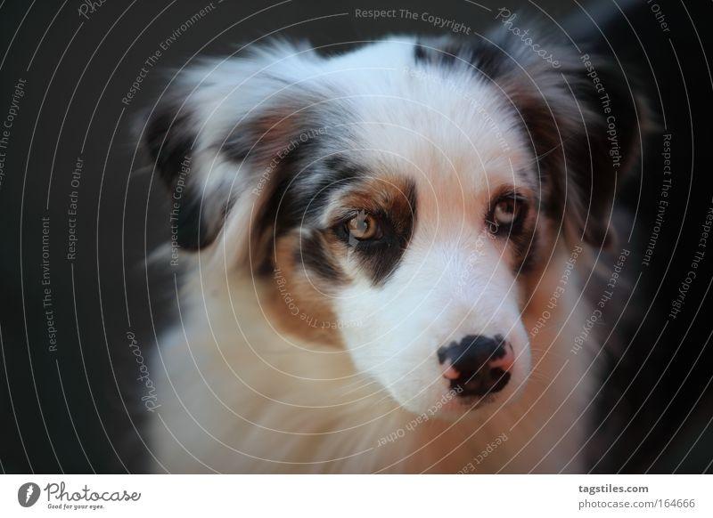 BHALENA SHERA Bhalena Shera shepherd shepard Australier Hund verträumt Textfreiraum Textfreiraum links lauschend hören Hundeportrait niedlich Treue schön