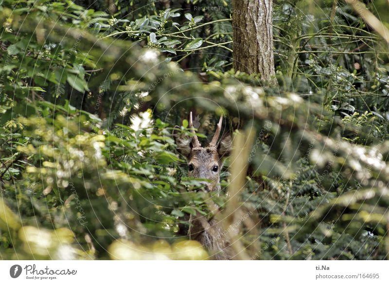 Nachbars Wild-Garten Jagd Umwelt Natur Frühling Wildtier Reh 1 Tier beobachten entdecken wild Tierliebe Umweltschutz Versteck Schutz Außenaufnahme Blick Tag