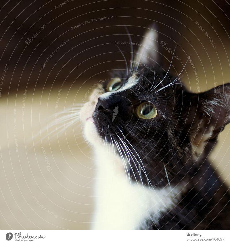 Guck mal wie die guckt, aber guck nicht, die guckt grad! Blick weiß grün schwarz Tier gelb Katze beobachten Konzentration 1 Haustier