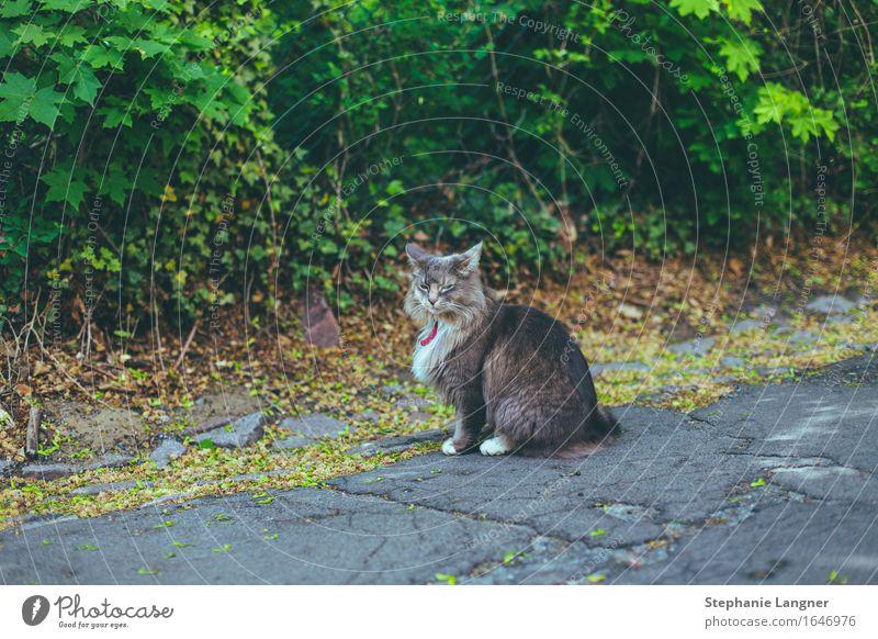 Katze mit Schlips Tier Haustier 1 beobachten genießen sitzen Straße Farbfoto Gedeckte Farben Menschenleer Tierporträt