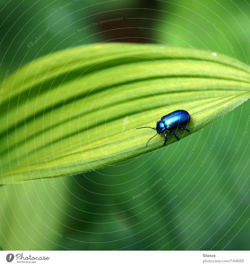 Kleiner Blauer auf grossem Grün schön grün blau Pflanze Tier Bewegung Glück Zufriedenheit glänzend klein Sicherheit Fröhlichkeit ästhetisch rund nah natürlich