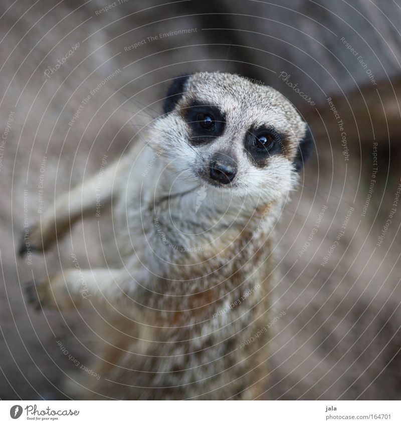 The Watcher Gedeckte Farben Außenaufnahme Nahaufnahme Tag Starke Tiefenschärfe Vogelperspektive Tierporträt Blick in die Kamera Wildtier Fell Zoo Erdmännchen 1