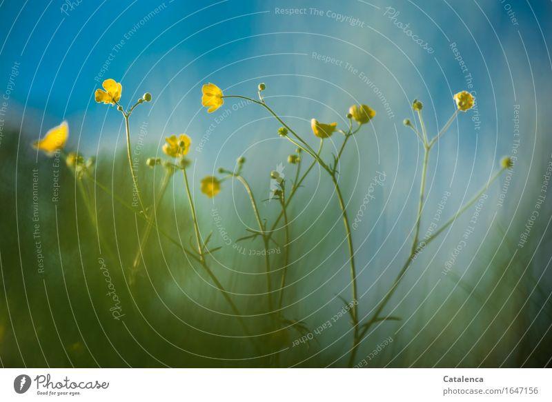 gelb und blau Natur Pflanze Wolkenloser Himmel Frühling Schönes Wetter Blume Gras Blüte Sumpf-Dotterblumen Wiese Blühend Wachstum ästhetisch Duft grün