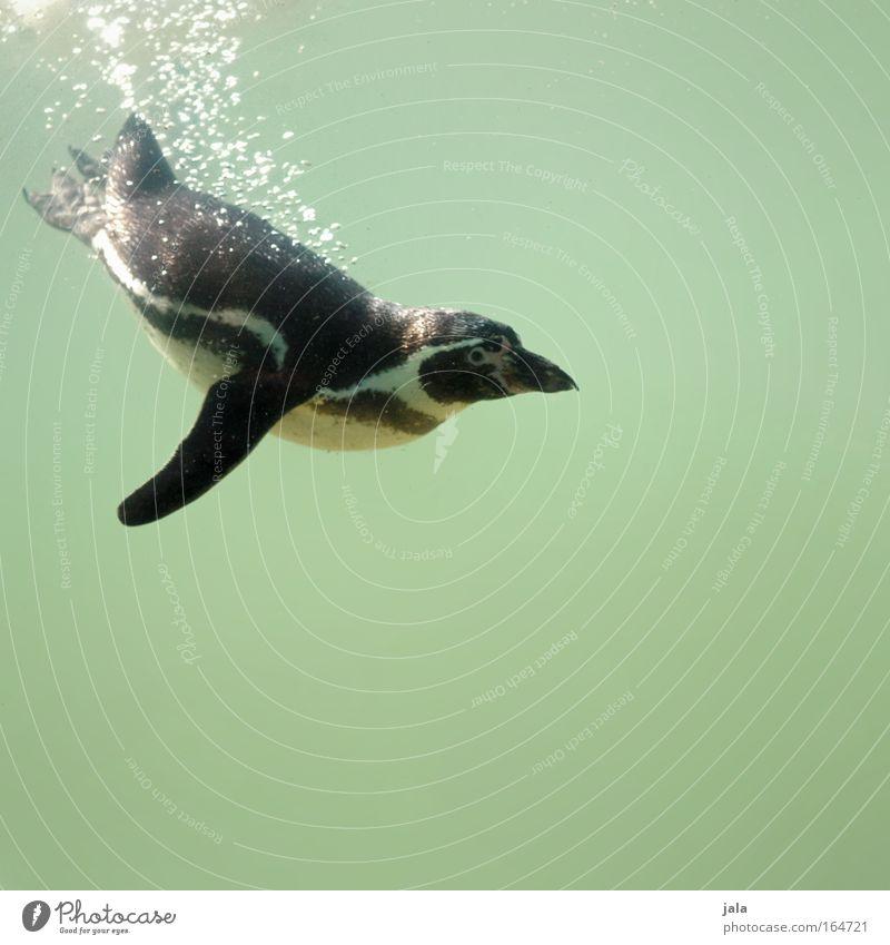 Pinguin Pool Wasser grün schwarz Tier Glück nass Fröhlichkeit Feder Tiergesicht Flügel Zoo Aquarium Pinguin Blick Meerestier